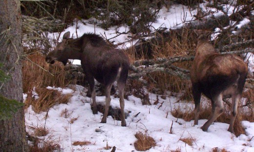 Nine-month-old calf moose with its mother.