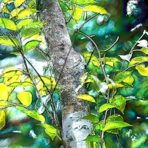 Mysore Sandalwood Tree - image courtesy aromatheraphy4soul.com