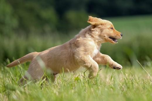 Golden retriever puppy sprinting threw the high grass.