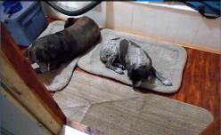 Minnesota Dog Breeds: Chocolate Labrador Retriever Settling in for a Nap