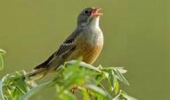 Song Bird Delight