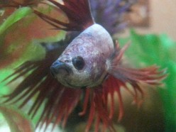 Elvis, the Crowntail Betta