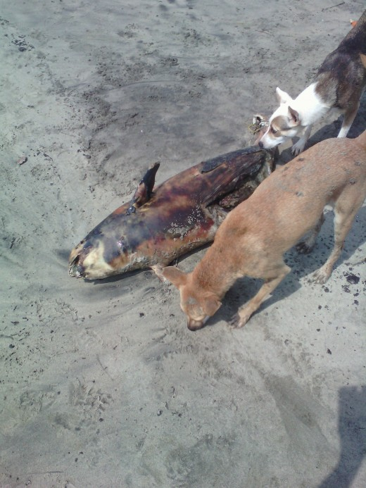 Dead body of a kid dolphin and street dog at Vagator beach
