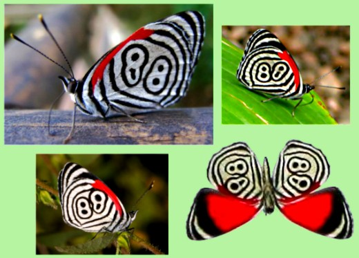 The 88 butterfly's wing pattern is a curious accident of evolution.