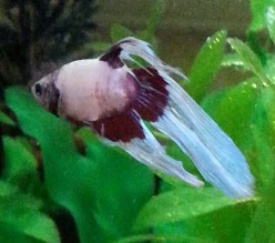 Beaster: Raising My Beautiful Siamese Fighting Fish