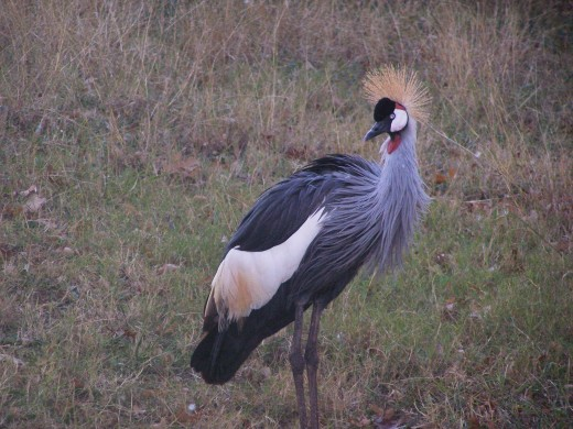 African Crested Crane, less than 100,000 population.