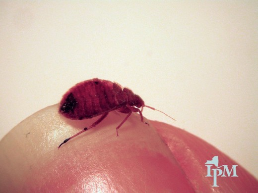 Bed bug bites are red, itchy and come in groups of three.