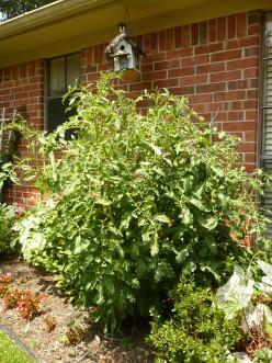 Gargantuan tomato plant