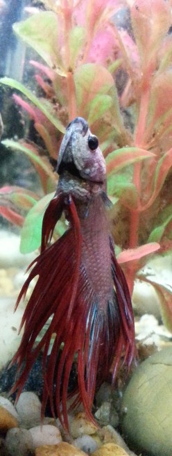 The Continuing Exploits of Elvis, the Crowntail Betta