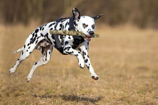 This photo of a Dalmatian dog conveys movement and energy.
