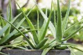 Growing Aloe Vera Plants At Home
