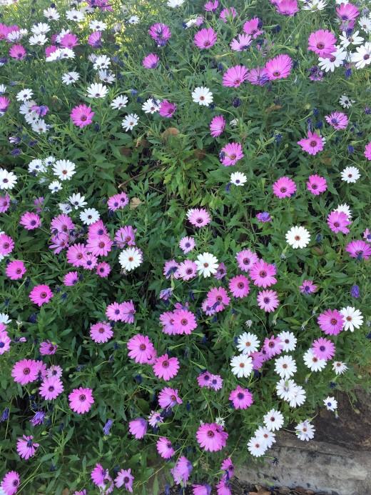 Fan Flowers