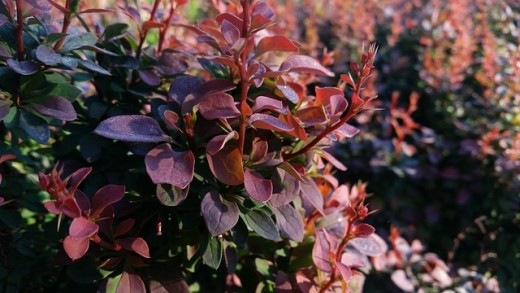 Purple Berberis foliage