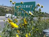 California daisies