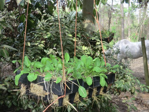 Hanging baskets lined with thick moss or thatch and filled with dirt and aged manure are great for growing short rooted vegetables like greens and herbs.