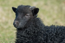 Baa Baa Black Sheep Have You Any Wool?