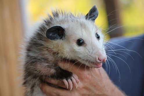 Some Belated Praise for Opossums