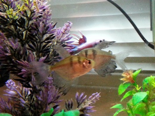 Simon & Garfunkel are a long finned variety of Black Skirt tetra.