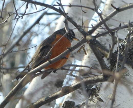 Pulling a closeup of a robin high in a tree. Such a treat!