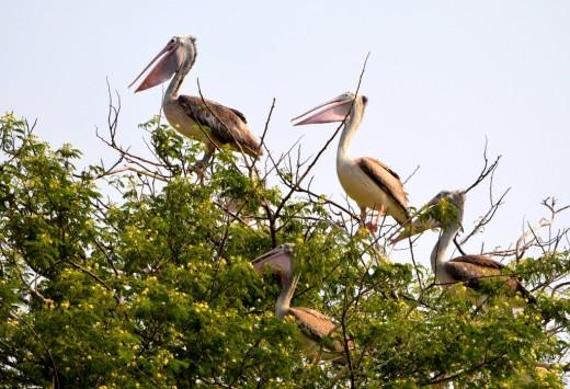Spot-billed Pelicans on a tree in Kokkerabellur