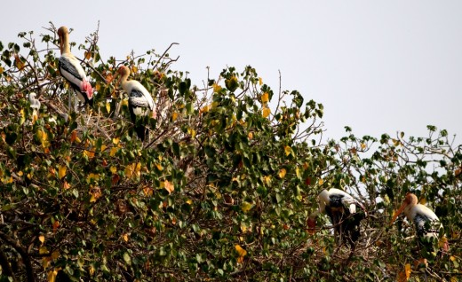 Painted Storks on a tree in Kokkerabellur