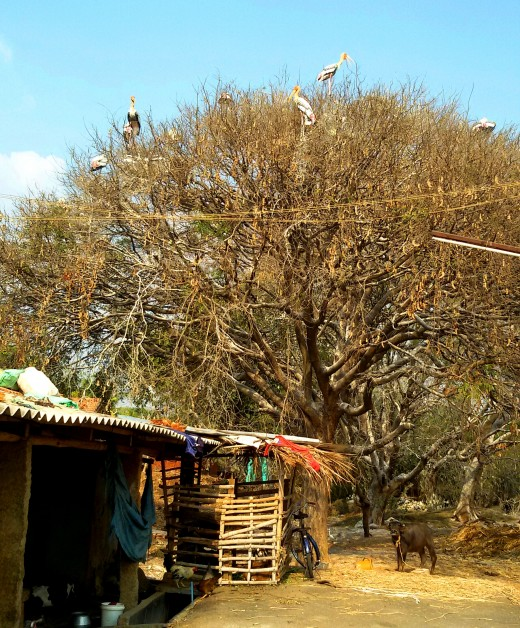 A Tamarind tree at Kokkerabellur with some Painted Storks sitting on the tree
