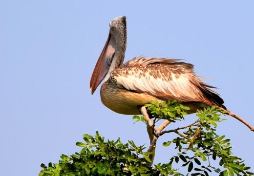 Another Spot-billed Pelican