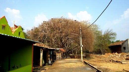 Kokkarebellur village