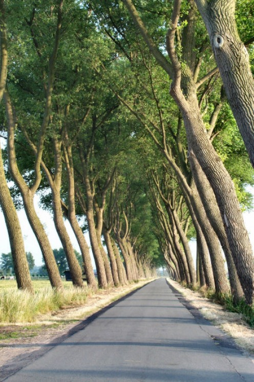 A lane of crooked trees