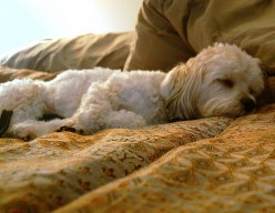 Why do dogs sleep at the foot of the bed?