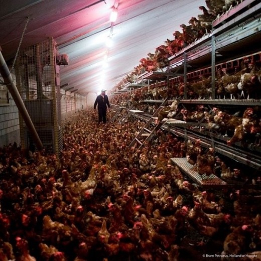Cage-free egg farm