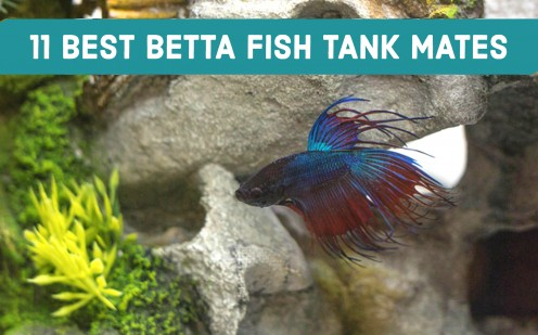 11 Best Betta Fish Tank Mates