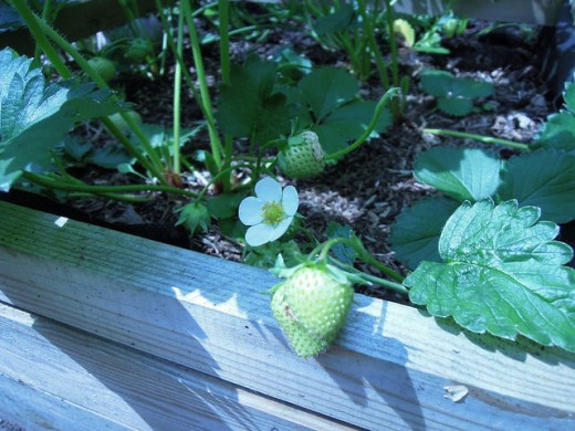 Strawberries growing in a wooden container.