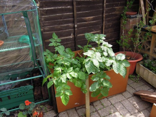 Potatoes growing in a recycled container.