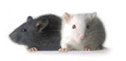 The Church Mice