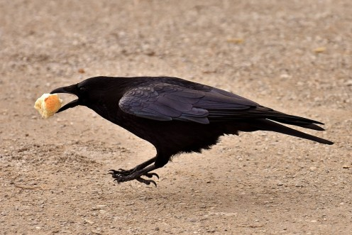 Common crow getting a tasty meal.
