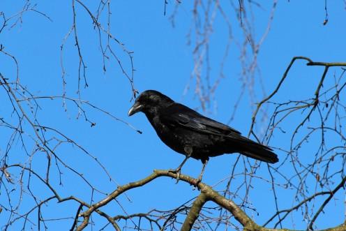 A beautiful crow perching  on a limb.