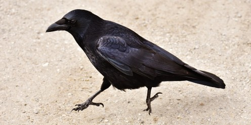 A crow does the Crow hop.