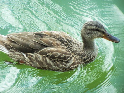 Don't let this quacker quack you up!