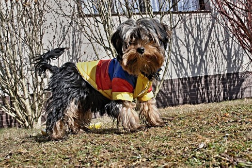Black and tan Yorkshire Terrier. An excellent small pet..