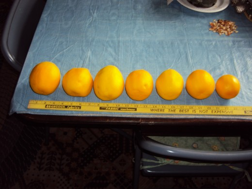 Half of the 2017 harvest of 12 lemons from just one of our two indoor trees.  We have planted a third, once again from seed.