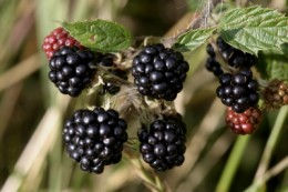 Blackberries or Brable Raspberries. [From photographer Tom Curtis on FreeDigitalPhotos.net]