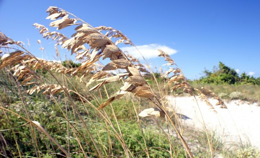 Sea oats protect the seashore and will also protect you and your home!