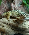 Information About Leopard Geckos
