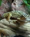 Information About Leopard Geckos