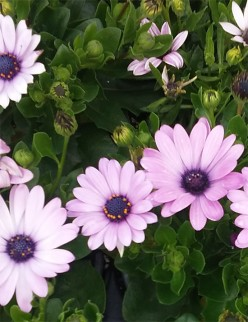 Growing the African Daisy