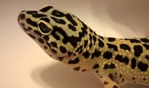 This is a picture of a beautiful female leopard gecko.