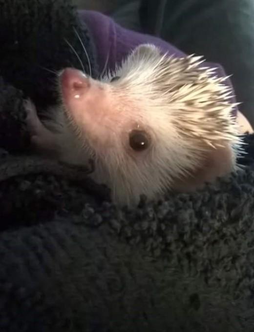 A cute hedgehog after bath time.