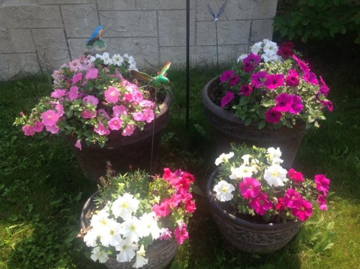 Home flower Containers with a welcome sign. Patunias transferred to containers from the flower beds.