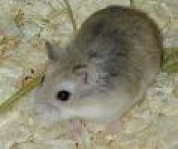 This is casper my cute dwarf hamster! I got him last x-mas.